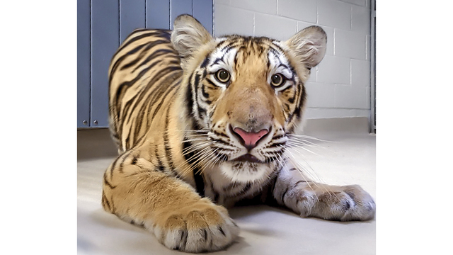 LSU's potential new live tiger mascot arrives on campus